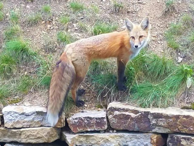 city fox in breckenridge colorado