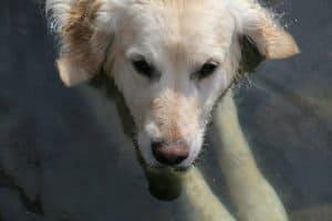 hope thomson yellow lab dog photo